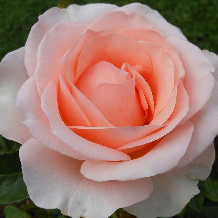 262 Best Garden Fragrance Images On Pinterest Hybrid