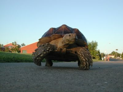 Franklin,3-year-old African Spur Tortoise (Geochelone sulcata) goes for a walk