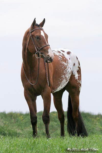 This horse is GORGEOUS! Bay, Spotted Blanket, Quarter horse...Reminds me of what our Stallion would look like at this age. . .