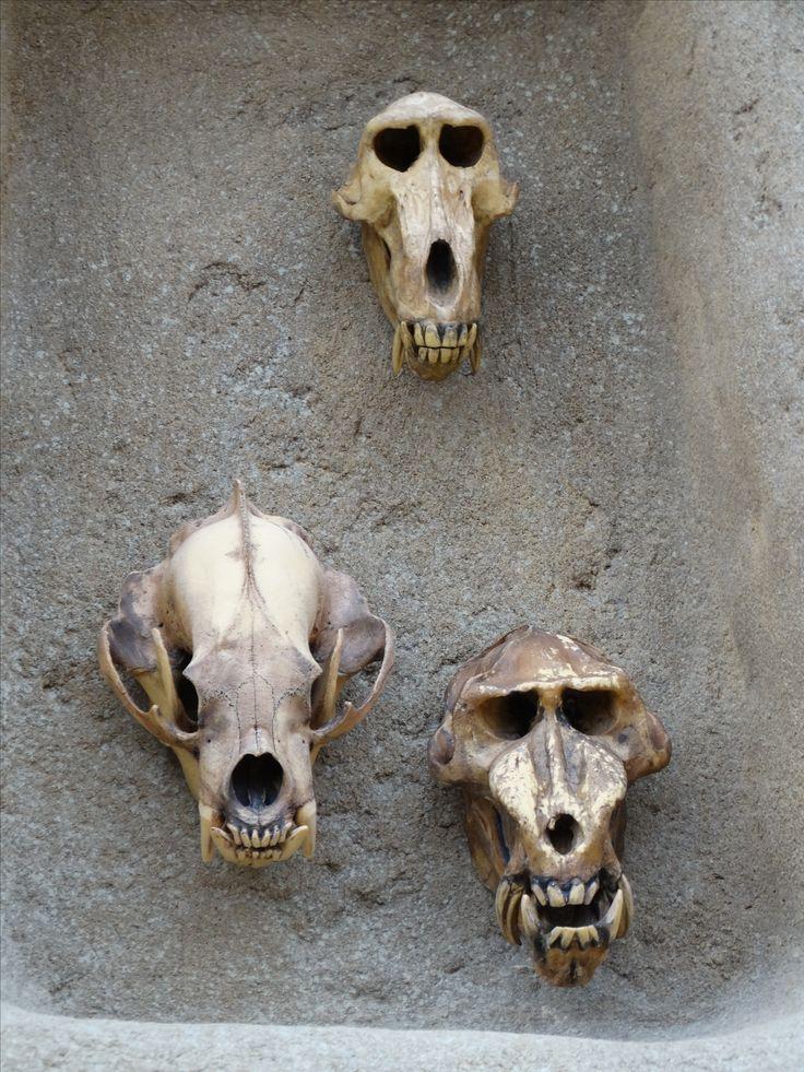 Animal skulls - Wildlands Adventure Zoo Emmen - 04-03-2017 By Tjaard Polet
