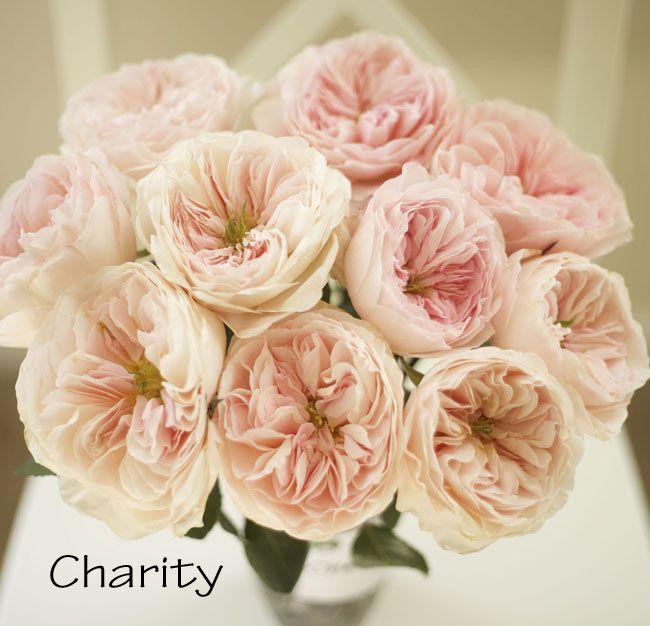 David Austin Charity Garden Rose, a lovely pink garden rose, known as Auswasher