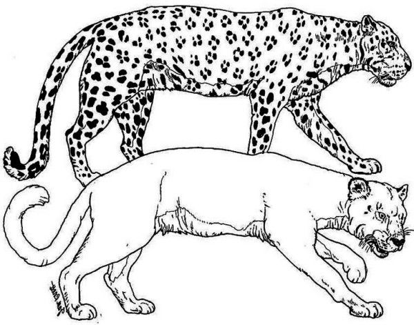 Tiger A Puma And A Leopard Tiger In The Wild Coloring Page In 2020 Coloring Pages Online Coloring Pages Lion Coloring Pages