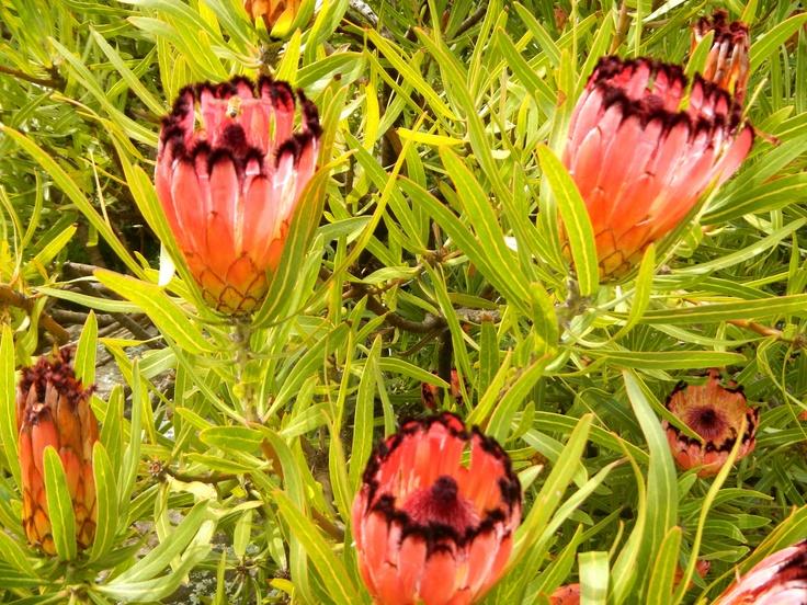 Proteus, Australian native plant