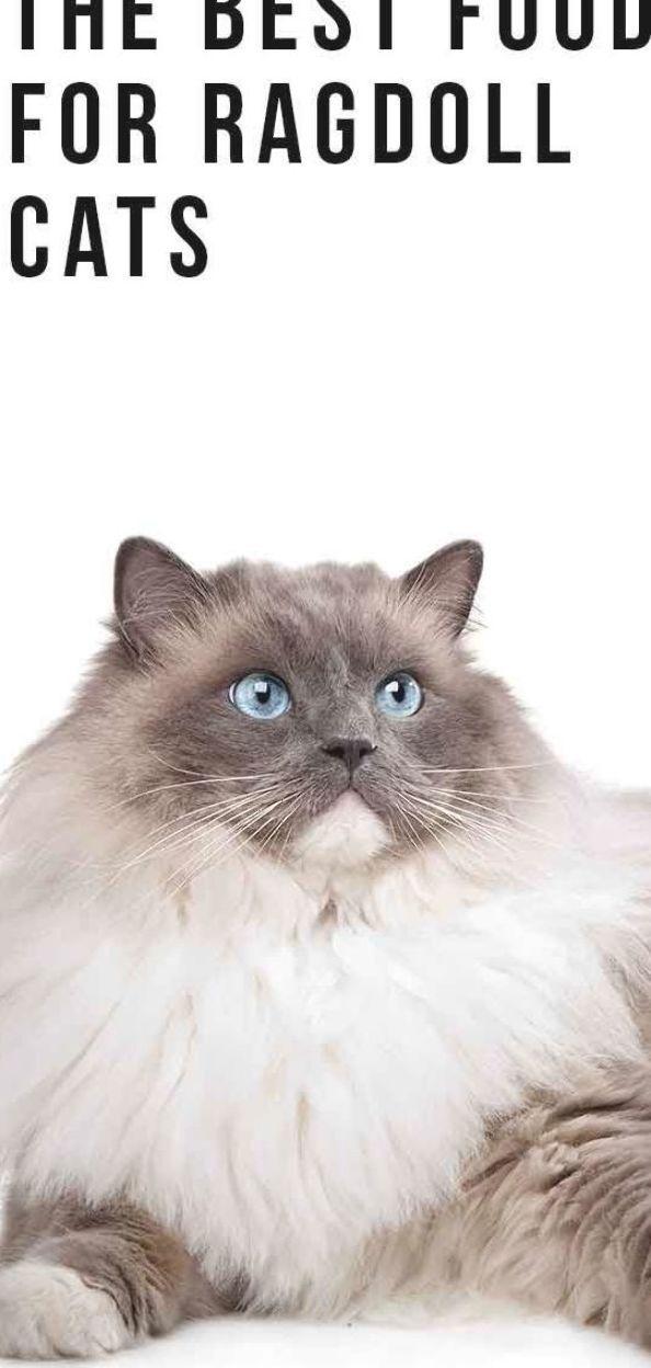 Pin Pada Ragdoll Cats