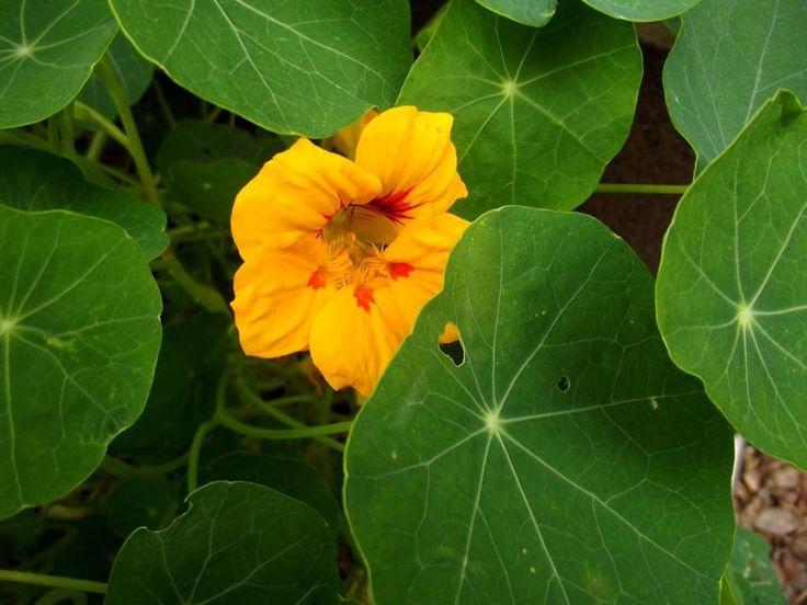Nasturcje zaczynają kwitnąć na rabatach, kiedy w warzywniaku zjadane są ostatnie rzodkiewki. Wielbiciele ostrych smaków mogą te warzywa zastąpić kwiatami.