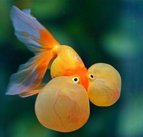 ... for Your Aquarium Paint Pinterest Fish, Gold and Tropical fish