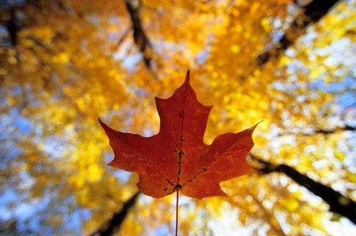 Maple Leaf, Gatineau Park, Quebec