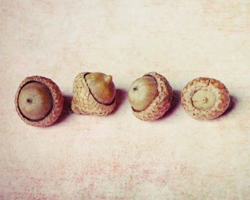 Natural forms. acorns