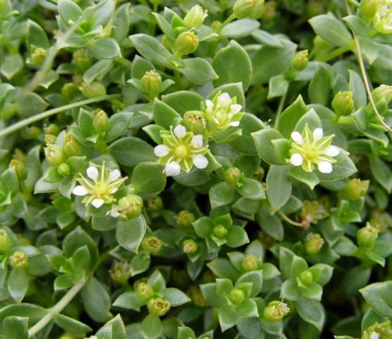 Native Ontario Plants: 128 Best Images About Edible/Medicinal Native ONTARIO