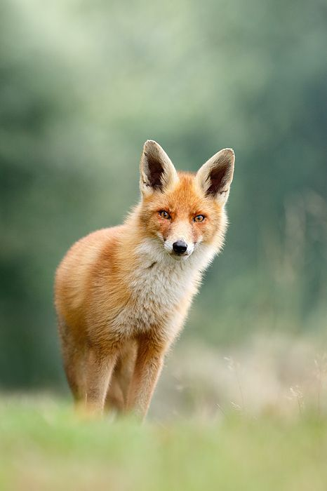 red fox | animal + wildlife photography