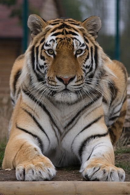 """lions-and-company: """" Amur Tiger by dutts303 on Flickr. """"The Wildlife Heritage Foundation is a UK based charity working hard to ensure that the big cat species of the world are protected from..."""