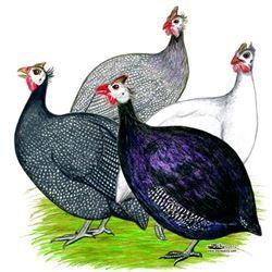 Hatchery Choice Guinea Fowl Keats  #guineafowl #guineafowlforsale
