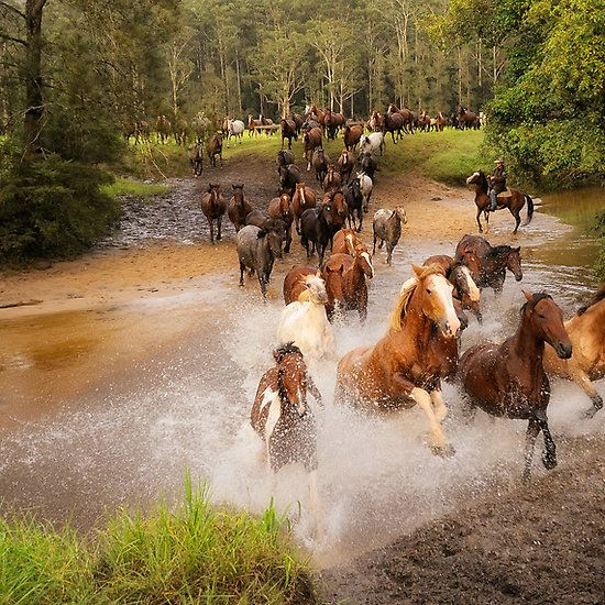 Wild Mustang Paint Stallion Leading His Herd of Mares Down Stream.