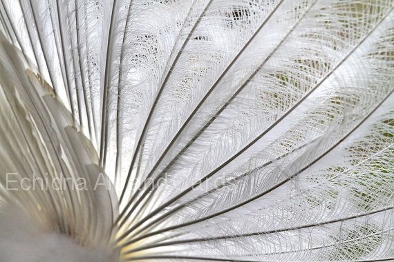 'White Peacock Feathers' Photography Art Print by EchidnaArtandCards on Etsy  #auswandarrah