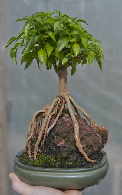 Fatalii's Growing Guide - Bonsai Chiles! (Bonchi) wow. never quite sure about this, shades of foot-binding? But. wow.