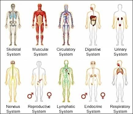 different systems of the human body