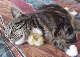baby chicken sleeps with the cat