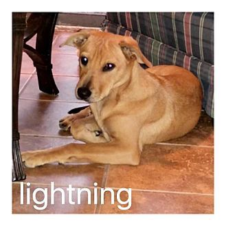 Dallas, TX - American Pit Bull Terrier Mix. Meet Lightning, a dog for adoption…