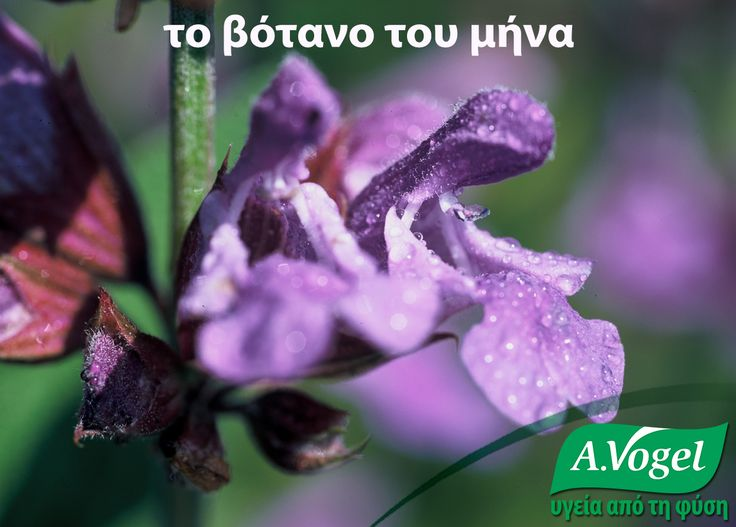 """Φασκόμηλο - Salvia officinalis.  """"Salvia"""" σημαίνει στα λατινικά «καλή υγεία» και η φαρμακευτική χρήση των φρέσκων φύλλων φασκόμηλου είναι γνωστή για αιώνες σε πολλούς πολιτισμούς. Tο φασκόμηλο χρησιμοποιείται συχνά ως αποτελεσματική αντιμετώπιση για τον πονόλαιμο και για την αντιμετώπιση της νυχτερινής εφίδρωσης και τις εξάψεις."""