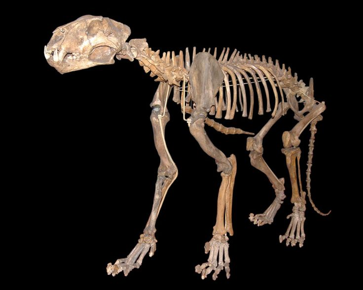 Fossil European/Eurasian Cave Lion (Panthera leo spelaea or possibly as its own species, Panthera spelaea) - Genetic evidence appears to show this lion is more closely related to the modern lion and that the European/Eurasian cave lion may have formed a single population with the Berigian cave lion which is sometimes considered to represent a distinct form. It ranged from Europe to Alaska during the Pleistocene between 370,000 to 10,000 years ago - Image : © Tommy from Arad / September 1…