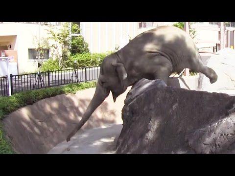 Asian elephants use trunks like leaf blowers