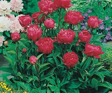 Your peonies, of course
