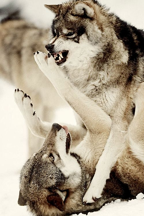 wolves | Tumblr