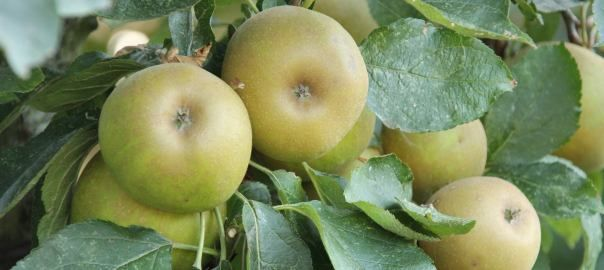 There are so many wonderful varieties of apple to choose from when selecting a tree for your garden.