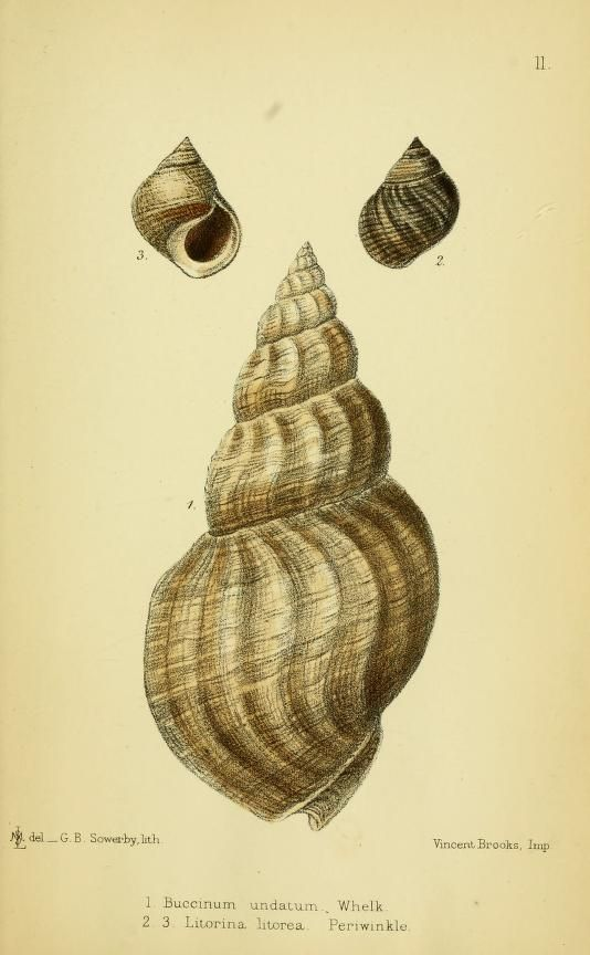 Buccinum and Litorina. The edible mollusks of Great Britain and Ireland : with recipes for cooking them  London :Reeve & co.,1867.  Biodiversitylibrary. Biodivlibrary. BHL. Biodiversity Heritage Library