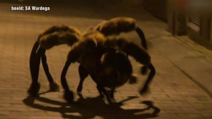 Dog dressed as gigantic spider! Watch the video http://m.telegraaf.nl/tv/opmerkelijk/article/23046660/griezelige-spinhond-in-polen