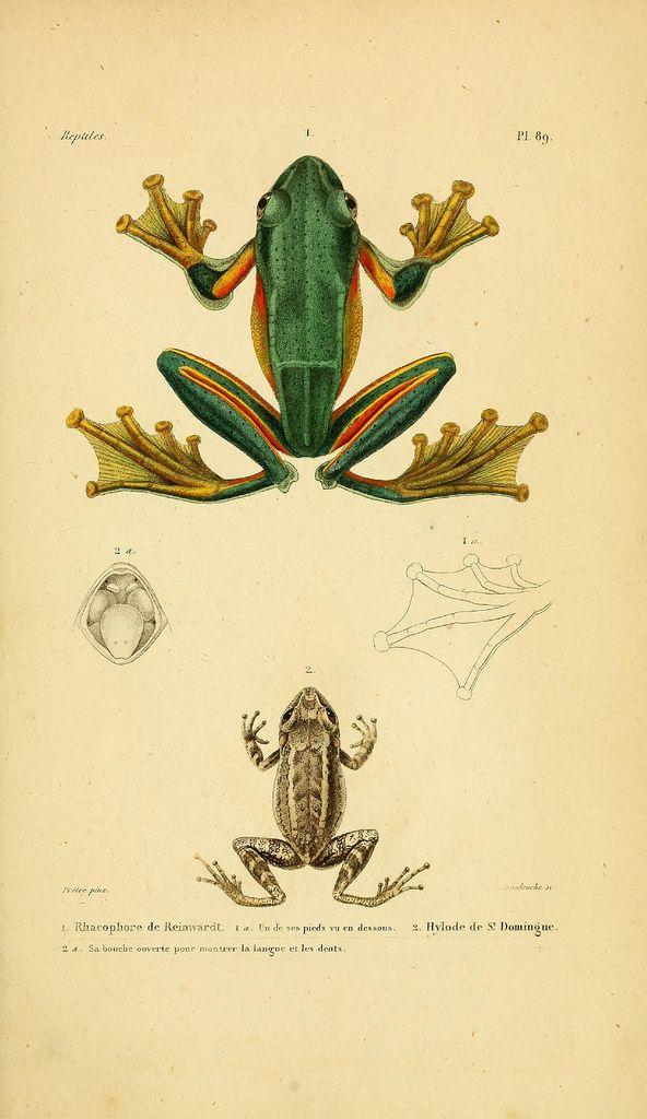 Illustrations from 'Erpétologie Générale, ou,  Histoire Naturelle Complète des Reptiles'  by AMC Duméril & G Bibron, 1854.