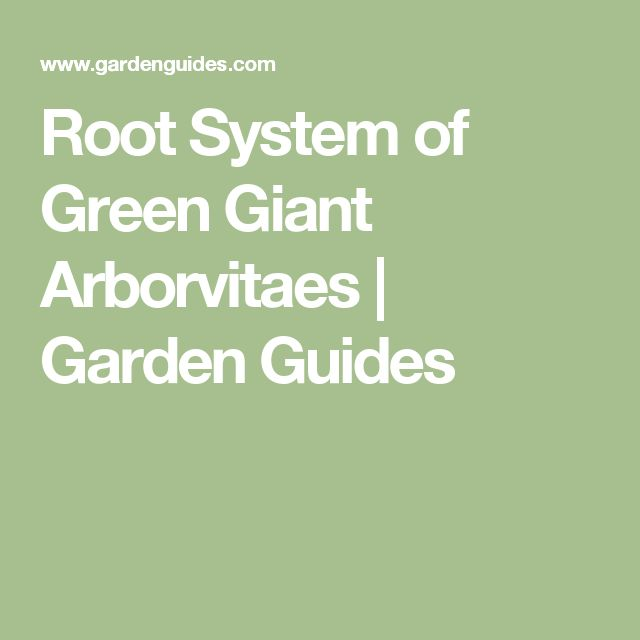 Root System of Green Giant Arborvitaes |  Garden Guides