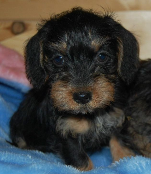 wire haired are now my fav... doxie puppy♥... ...........click here to find out more http://googydog.com
