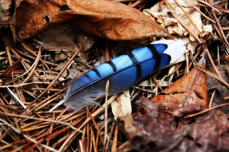 Blue jay feather- love that color!!!