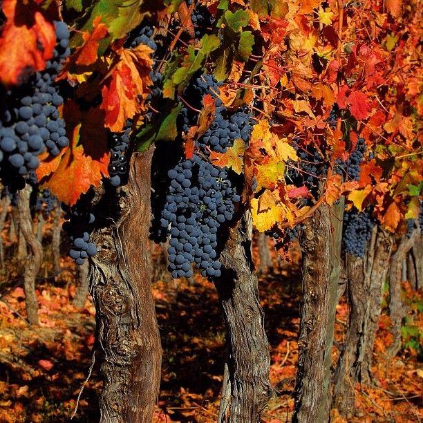 Vineyard in San Vicente de Tagua Tagua, Libertador Bernardo O'Higgins Region, Chile.