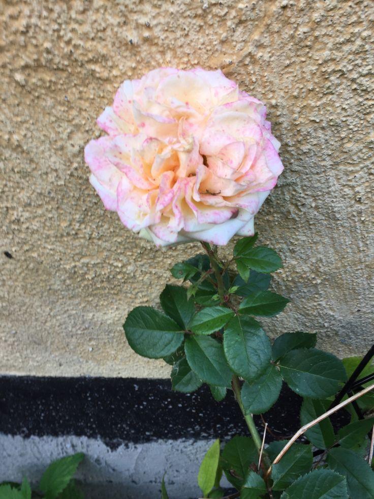 Flere farvet rose