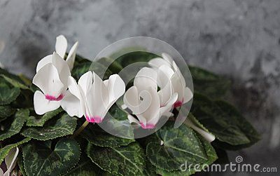 Beautiful white cyclamen on marble background