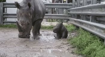 This one taking a little nap. | 23 Baby Rhinos That Will Make You Impossibly Happy