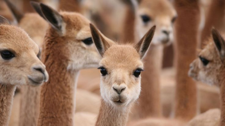 12 best Vicuñas - Ancestors to Alpacas images on Pinterest ...
