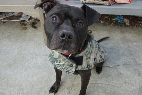 FOSTERED URGENT 03/2017 FRANK A1105242. M bl/whi am pit bull mix. I am about 7 YEARS old. OWNER SUR on 03/03/17 from NY 10475, reason was OWNER HOSP. 03/08/17 AT RISK MEMO at risk due to CIRDC dx 03/07/2017 Exam Type MS NEW URI – Med Rating is 3C – MAJOR COND , Behav Rating is AVERAGE, Wt 65.0