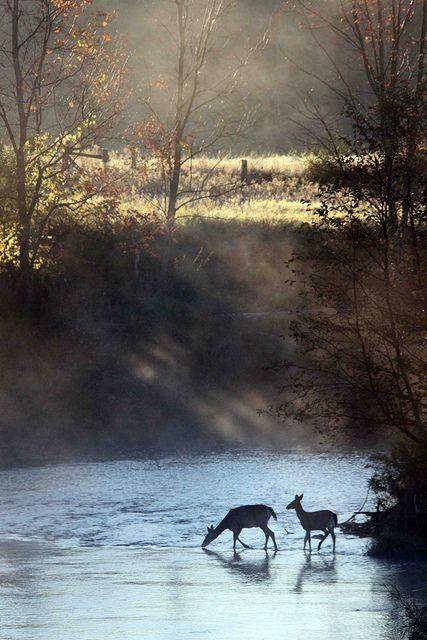 Deer crossing Hersey River near Reed City, MI