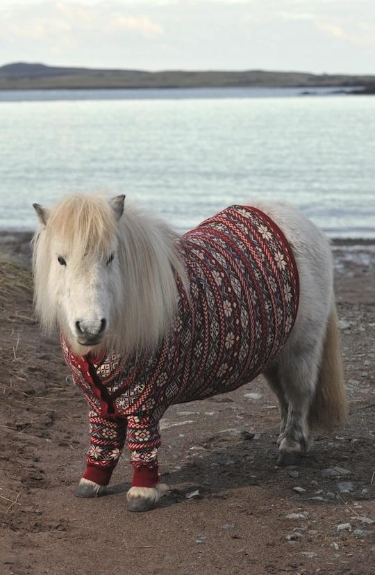 Shetland Pony from scotland