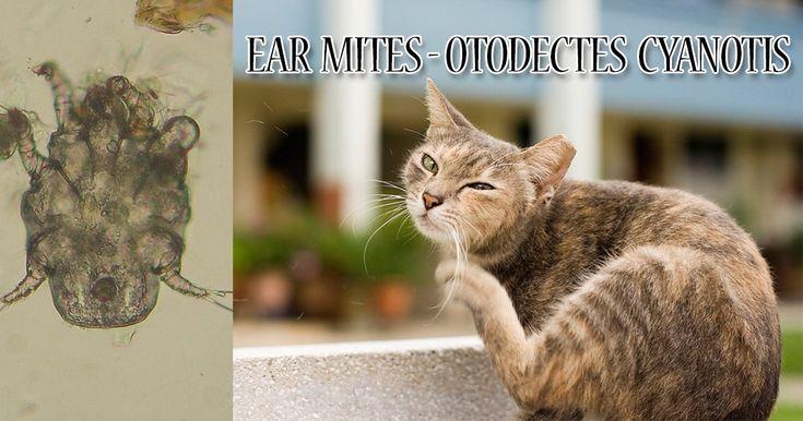 Best 25 Cat Ear Mites Ideas On Pinterest Dog Ear Mites