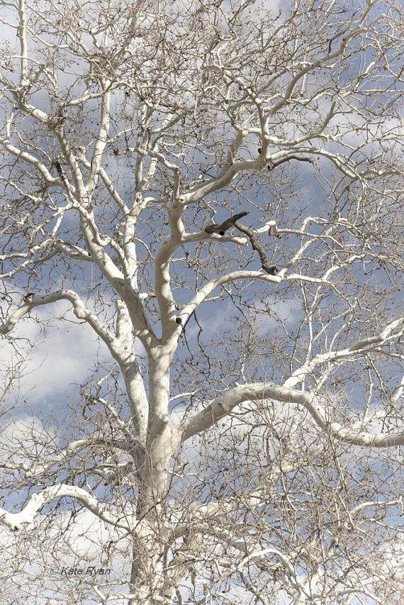 Winter Sycamore Tree Art Winter Tree Print Nature Wall Art