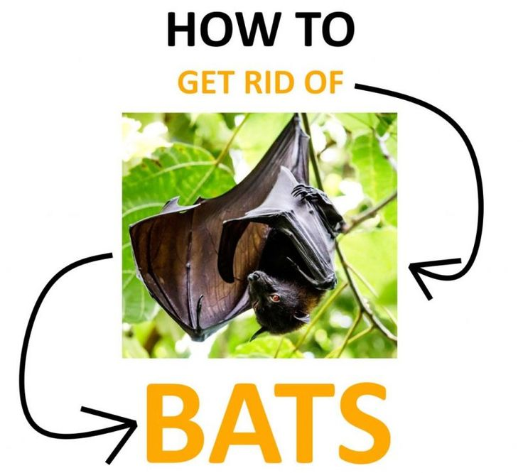 Bat problem? Learn how to get rid of bats using these