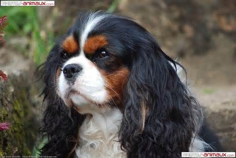 cavalier king charles spaniel - Bing Images