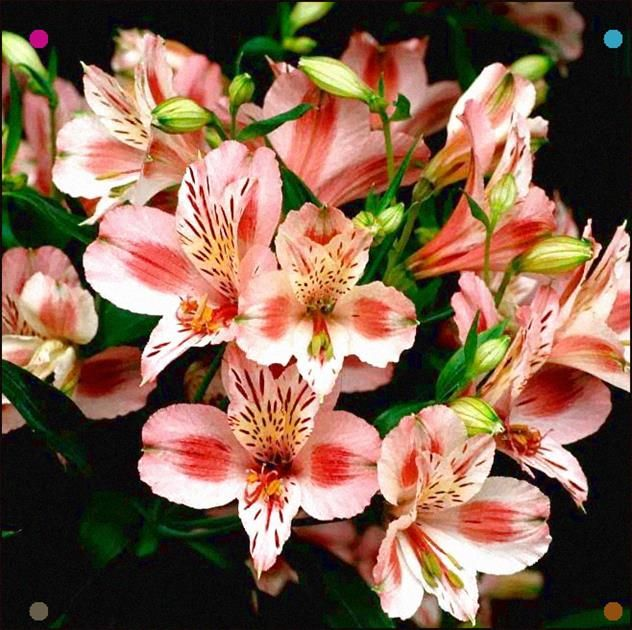 Here I Am Offering Seeds From Alstroemeria Psittacina Mona Lisa Lily Of The Incas Peruvian Lily This Plant H In 2020 Garden Flower Beds Peruvian Lilies Alstroemeria