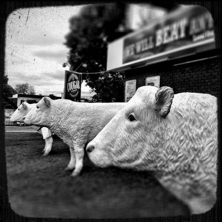 The three white bulls outside The White Bull Tavern ~ Charles Street Roma, Queensland.