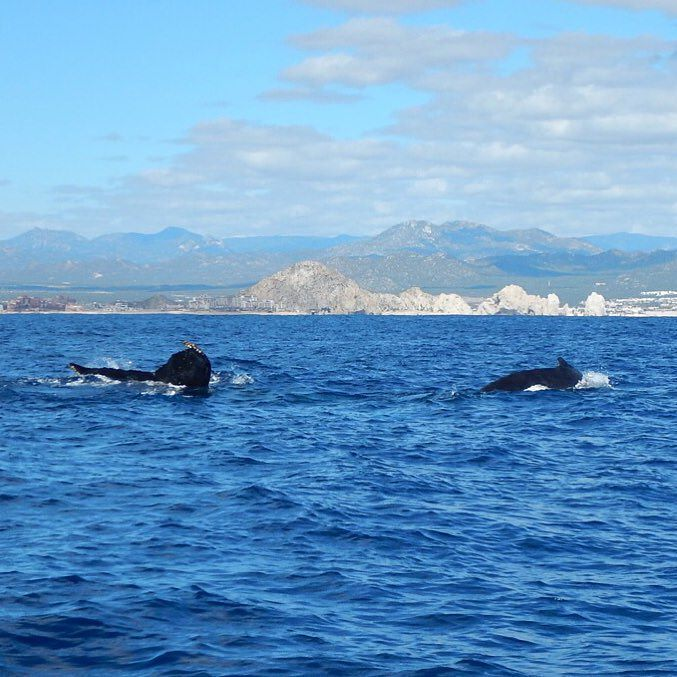 De las 11 especies de ballenas conocidas en el mundo ocho llegan a costas mexicanas. / Of the 11 species of whales found worldwide eight venture to the waters off Mexico.  #LosCabos #Cabo #Baja #BCS #Mexico #travel #viaje #viajar #tipsdeviajero #whale #whalewatching by tipsdeviajero