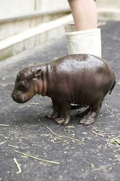 Baby hippo, cutest thing ever.